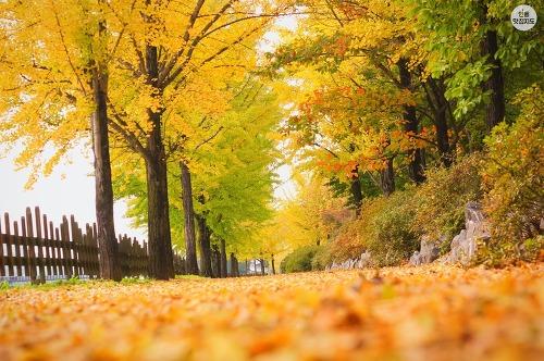 안동 월영교 옆 은행나무길 가을 풍경