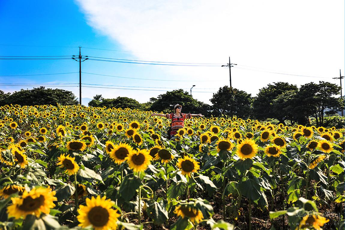 [365일 전국일주 중] 해바라기 함박웃음 짓는 여름의 제주, 김경숙 해바라기 농원
