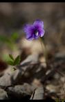 제비꽃과 양지꽃