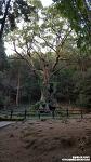 [사가 자유여행] 사가 다케오 신사 녹나무 (武雄の大楠) (Giant Camphor Tree of Takeo Shrine)