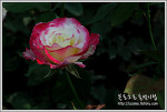 정열의꽃 장미가 가득한 부천 도당산 장미공원