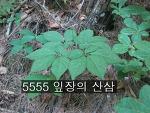 5555 잎장의 산삼 사진 기록