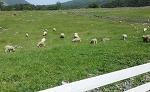 화순 무등산 양떼목장과 늘솔길공원 양떼목장, 대관령 양떼목장으로 떠나보세요