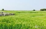가파도 청보리축제와 고창 청보리밭축제, 4월의 봄축제 언제가 절정일까?