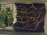 산삼 기록 (산원초)