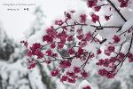 부산 3월에 눈이 내린날 범어사와 금정산에서 만난 설중매