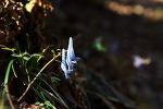 [야생화] 봄에 피는 야생화, 현호색 꽃말은 '비밀', '보물 주머니'/4월에 피는 야생화/봄에 피는 꽃 종류/봄에 피는 보라색 야생화/죽풍원의 행복찾기프로젝트