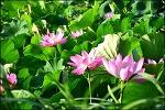 대구 반야월연근(연꽃)단지,점새늪,안심 습지