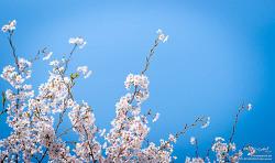 2016 영종도의 봄2(영종도 벚꽃)