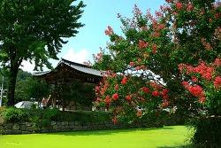 김천 방초정 배롱나무