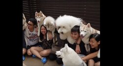 VIDEO: Feel 'True Love': Husky Cafe Discovered in Bangkok