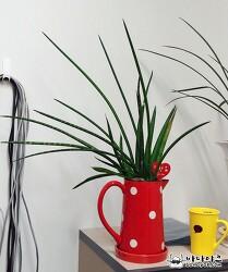 세상 키우기 쉽다는 공기 정화 식물 스투키 잎마름병 발생
