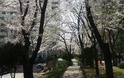 서울 강동구 명일동 삼익그린2차 아파트,재건축 단지의 벚꽃 축제