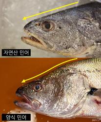 국민도 속고 상인도 속은 중국산 양식 민어의 비밀