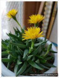 다육식물 요술꽃 키우기
