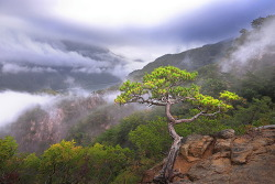 월악산, 제비봉 능선 소나무.