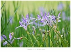 타래붓꽃 효능 - 지혈제.염증치료.이뇨제.간염.황달.골수염.출혈.해열/약용식물/5월야생화