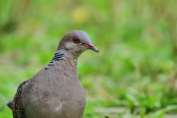 타이완 멧비둘기