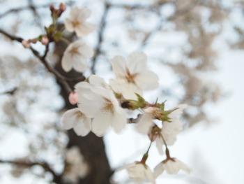 2011 벚꽃 축제
