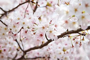 동탄 벚꽃길을 만끽할 수 있는 리베라CC 제3회 벚꽃축제 개최!
