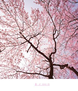 [hasselblad 903swc] 벚꽃