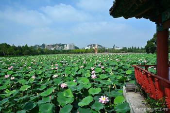 [전주여행] 넓은 연못위를 수놓은 연꽃의 물결, 전주 덕진공원 연꽃