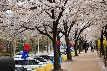 드론으로 촬영한 안양충훈 벚꽃축제