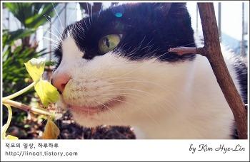 [적묘의 고양이]13년 초지일관 까칠묘생, 하악고양이,깜찍양의 봄날