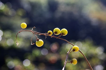 도깨비가지 열매