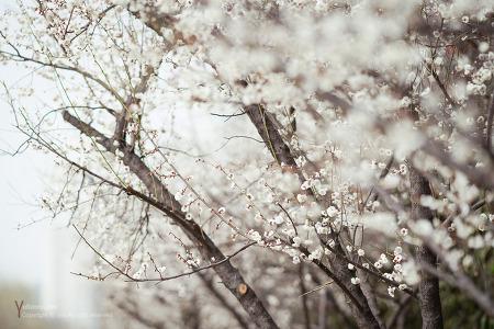 서울 청계천 매화거리 매화꽃 만발하다  3월21일 상황