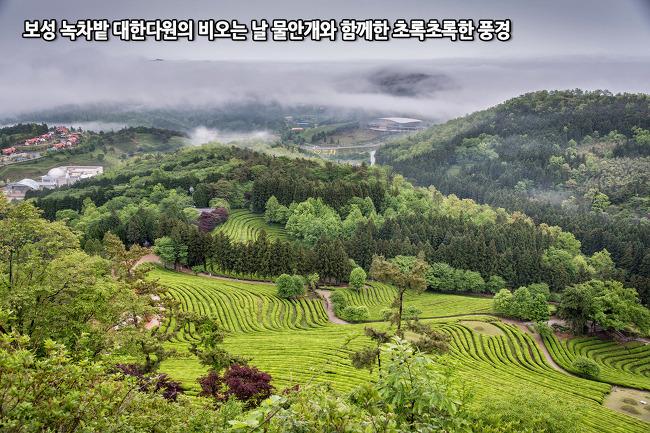보성 녹차밭 대한다원의 비오는 날, 물안개와 함께 한 초록초록한 풍경