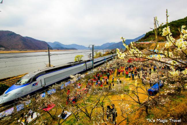 경남 양산시 원동매화축제 (2018년)