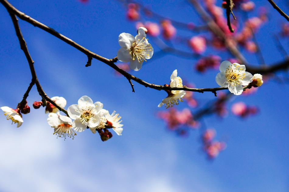 [2017/03/04] 광양 홍쌍리매화마을로 봄마중