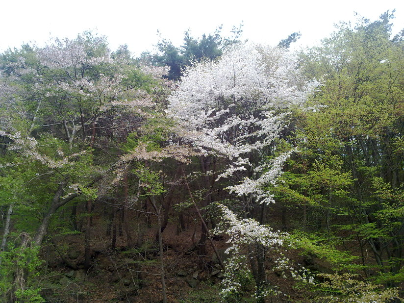 4월 30일 팔공산 갓바위 가는 길에 벚꽃