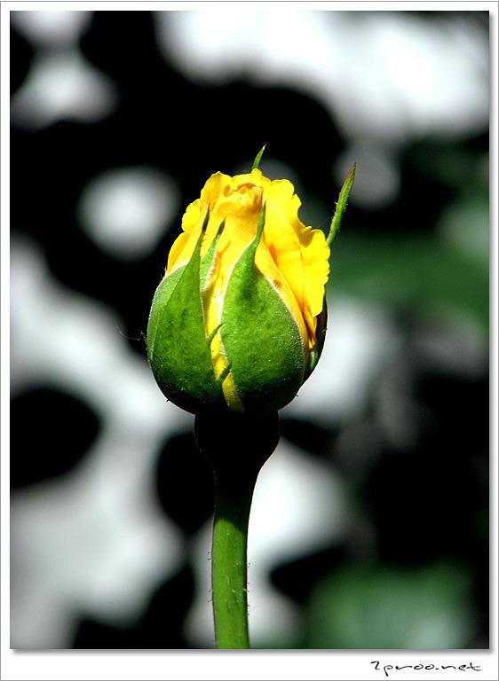 노란색 장미꽃