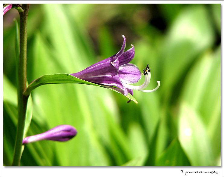 비비추 꽃 사진
