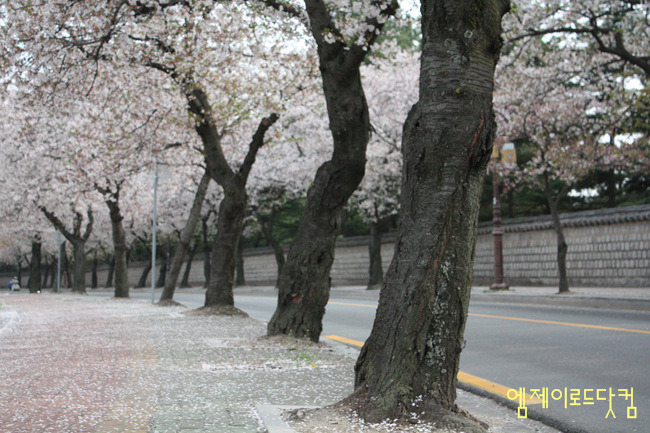 경주, 대릉원, 포토, 사진, 벚꽃길