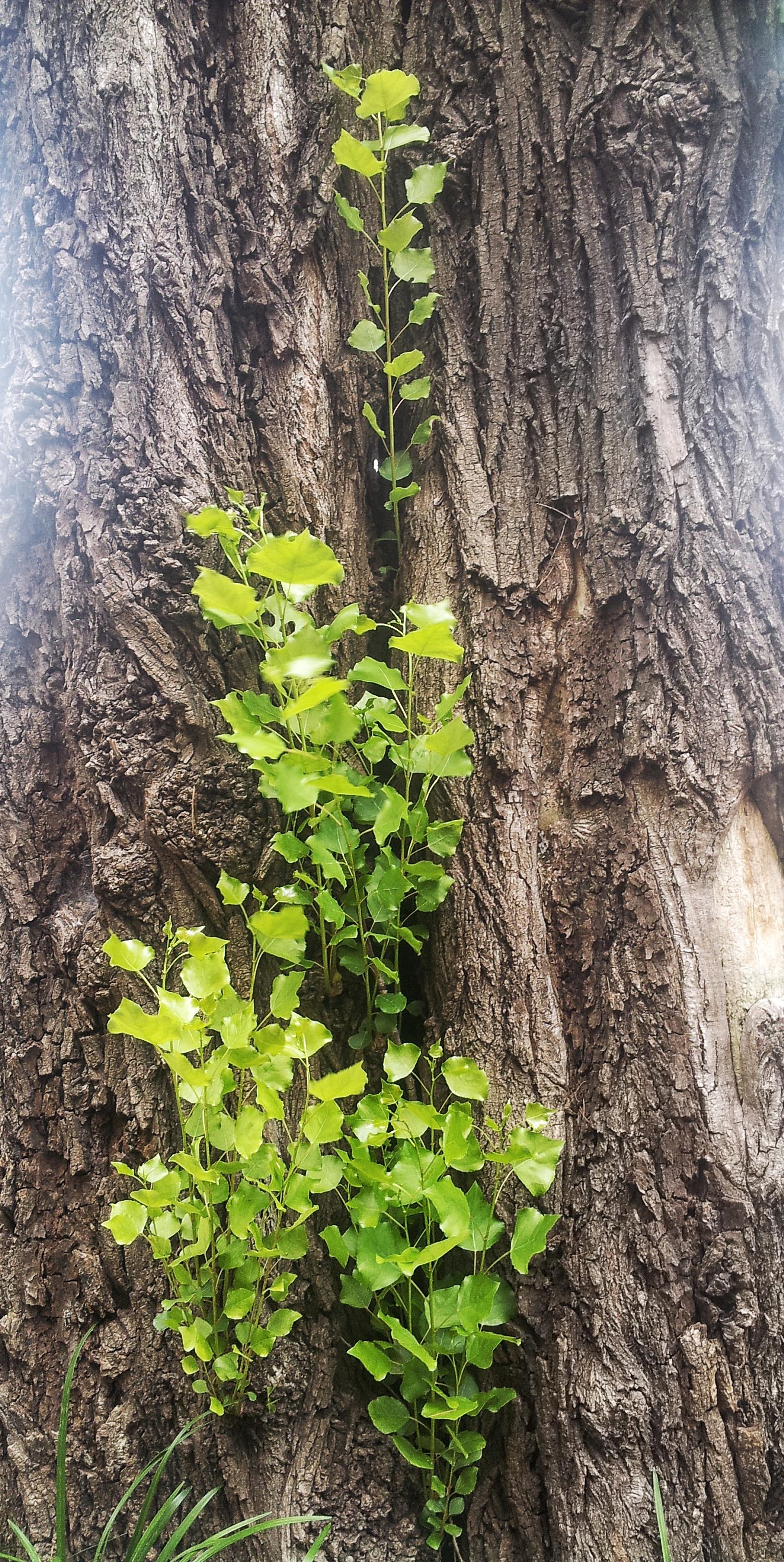 오래된 나무 새싹 아침 햇살 뽀토샵 효과 뽀샤시 햇살 봄 생명 숲 안개 고목 무료이미지
