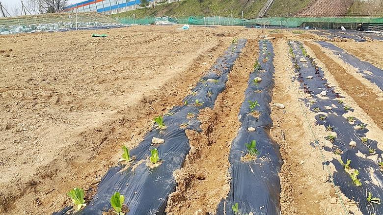상추재배,상추키우기,상추종류,상추재배,상추모종