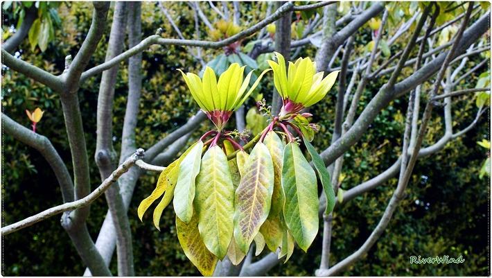 잎이 꽃처럼 피어나는 굴거리나무/OmnisLog