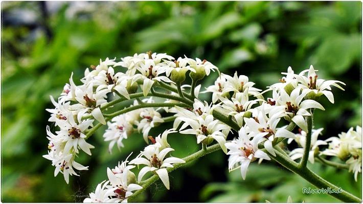 늦은 봄꽃 돌단풍 하얀꽃/OmnisLog
