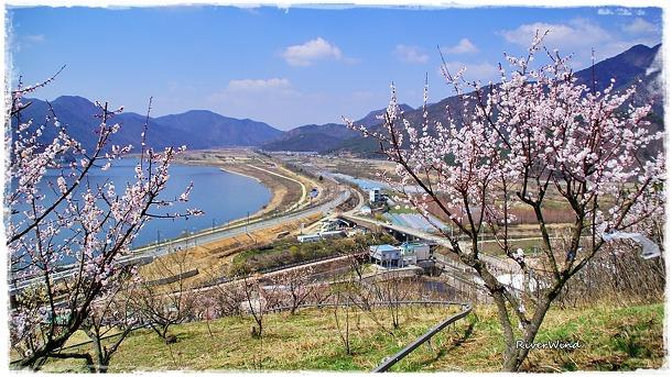 매화피는 낙동강 풍경