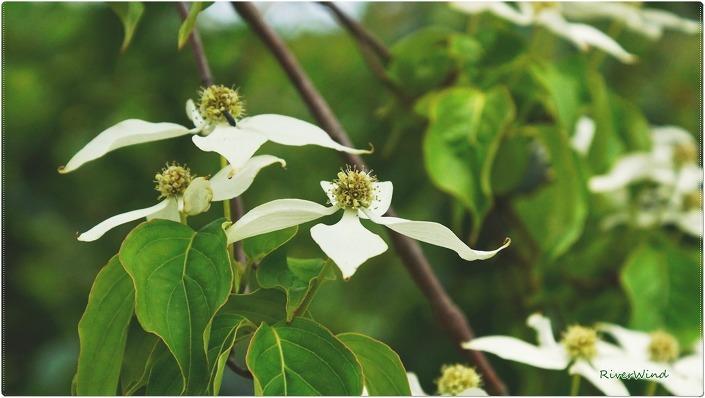 산딸나무 Cornus kousa