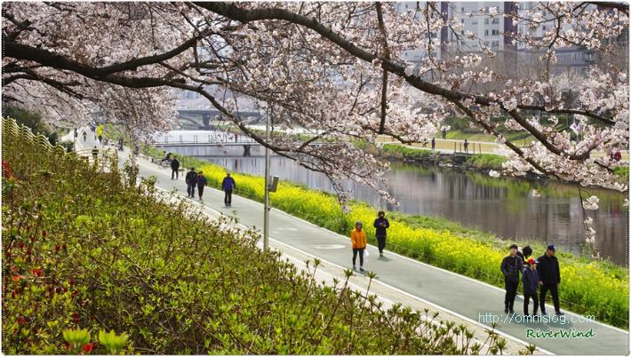 벚꽃핀 온천천의 봄풍경