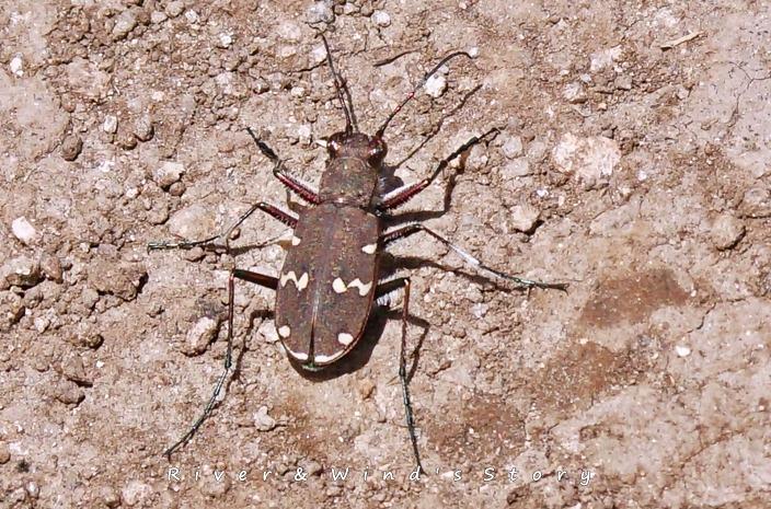 길앞잡이, tiger beetle, Cicindela chinensis