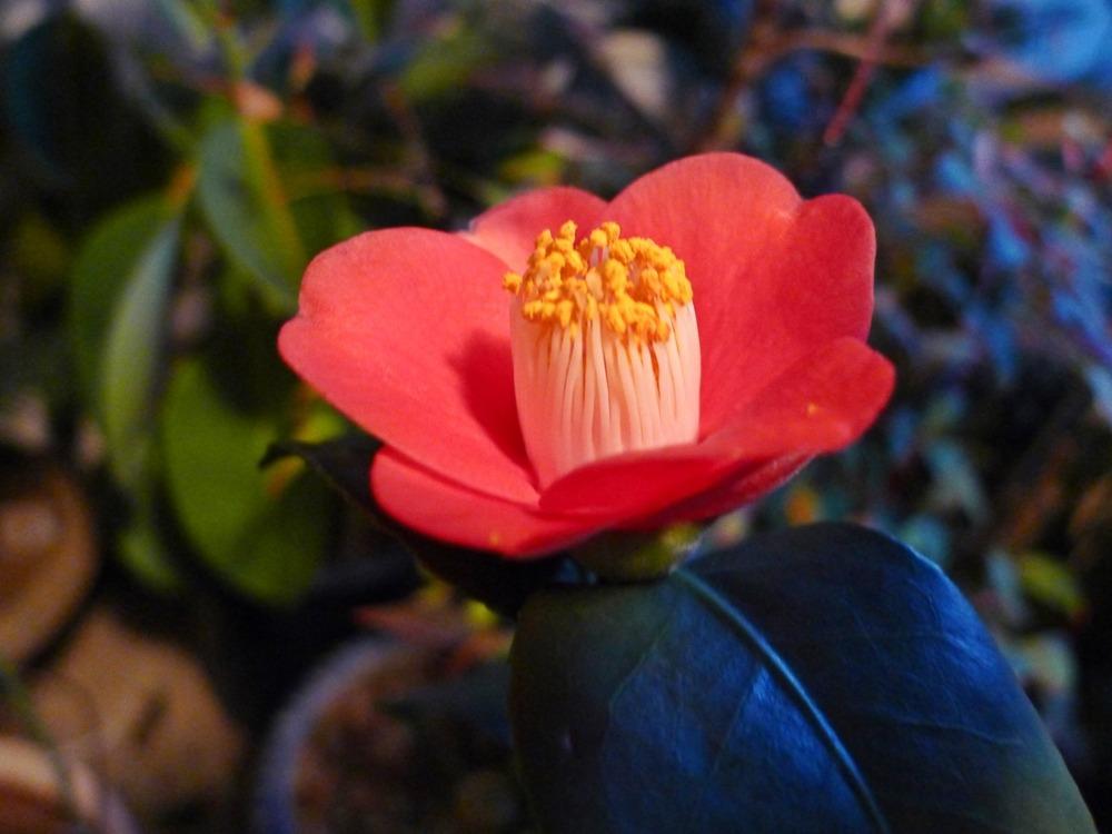 재래동백꽃
