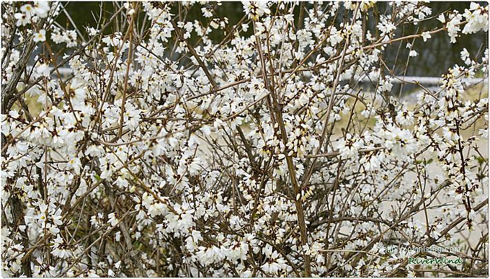 미선나무(尾扇木) 꽃