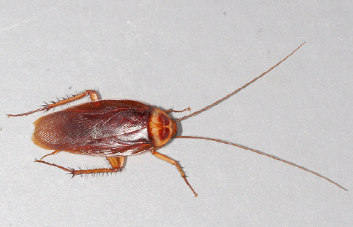 바퀴벌레 American cockroach