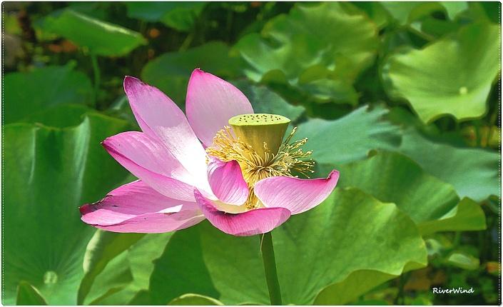 아름다운 연(蓮)꽃::OmnisLog