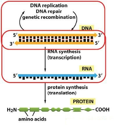 dna rna notes What's the difference between dna and rna dna, or deoxyribonucleic acid, is like a blueprint of biological guidelines that a living organism must follow to exist and.